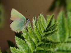 Grönsnabbvinge Callophrys rubi Green Hairstreak