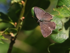 Eksnabbvinge (Favonius quercus, Purple Hairstreak) Aspö, Blekinge