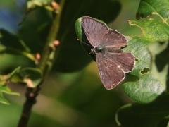 Eksnabbvinge Favonius quercus Purple Hairstreak