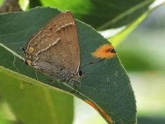 Eksnabbvinge Favonius quercus Purple Hairstreak
