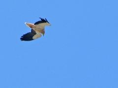 Smutsgam( Neuphron percnopterus, Egyptian Vulture ) vid Sierra de la Plata.