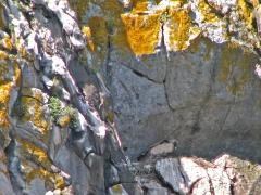 Gåsgam (Gyps fulvus, Eur. Griffon Vulture) på bo. Sierra de la Plata.