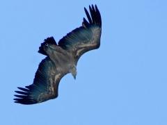 Gåsgam (Gyps fulvus, Eur. Griffon Vulture)