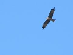 Brunglada (Milvus migrans, Black Kite). Spanien.