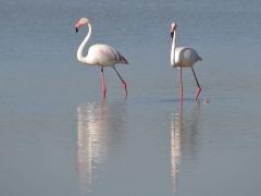 Flamingo (Phoenicopterus roseus, Greater Flamingo)