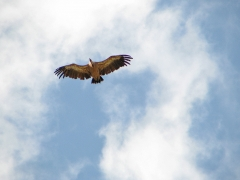 Gåsgam (Gyps fulvus,  Eur. Grifon  Vulture)