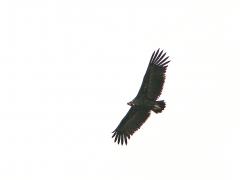 Grågam (Aegypius monachus,  Eur. Black Vulture)