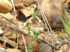 Rödfläckig blåvinge ( Aricia agestis, Brown Argus)
