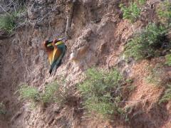 Biätare (Merops apiaster, Eu. Bee-eater)