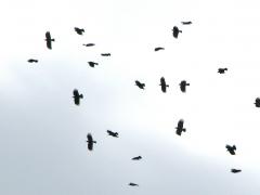 Alpkråka (Pyrrhocorax pyrrocorax, redbilled Chough)