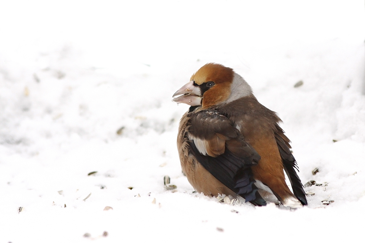 Stenknäck Coccothraustes coccothraustes Hawfinch