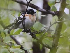 Bergfink, hane (Fringilla montifringilla, Brambling) Abisko, Tlm.