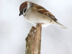Pilfink (Passer montanus, Eurasian Tree Sparrow) Söder, Växjö, Sm.