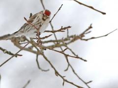 Gråsiska Acanthis flammea Common Redpoll
