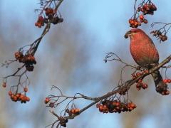 Tallbit, hane. ( Pinicola enucleator,  Pine  Grosbeak) Växjö.Sm.