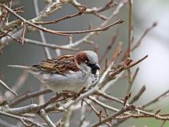Gråsparv Passer domesticus House Sparrow