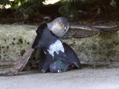 Sparvhök, hona (Accipiter nisus, Eurasian Sparrowhawk) - tamduva ( Colomba livia, domest. Feral Pigeon) 1