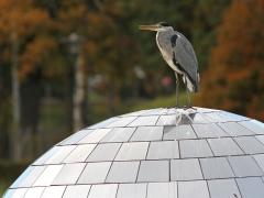 Gråhäger (Ardea cinerea, Grey Heron) Strandbjörket, Växjö, Sm.