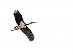 Svart stork (Ciconia nigra, Black Stork) Kalloni, Lesvos, Greece.