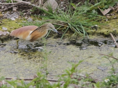 Rallhäger (Ardeola ralloides, Squacco Heron)  Kalloni, Lesvos, Greece.