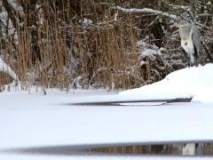 Gråhäger (Ardea cinerea, Grey Heron) N. Bergundasjön, Bokhultets NR, Växjö, Sm.