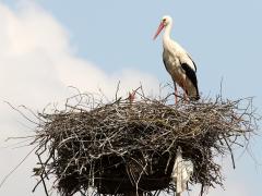 Vit stork (+gråsparv Passer domesticus) Ciconia ciconia White Stork