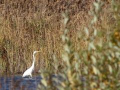 Ägretthäger (Casmerodius albus, Great Egret) Bergkvarasjön, Växjö, Sm.