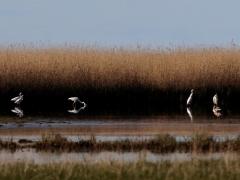Ägretthäger (Casmerodius albus, Great Egret). Beijershamn, Öl.