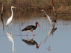 Svart stork, ägrett- och gråhäger Black Stork, Great Egret and Grey Heron  (Lesvos, Greece)