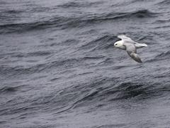 Stormfågel Fulmarus glacialis Northern Fulmar (Norway)