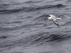 Stormfågel (Fulmarus glacialis,  Northern Fulmar) Andenes, Norway