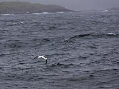 Havssula Morus bassanus Northern Gannet