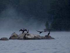 Storskarv (Phalacrocorax carbo, Great Cormorant) N. Bergundasjön, Växjö