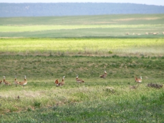 Stortrapp Otis tarda Great Bustard (Spain)
