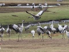 Trana Grus grus Common Crane