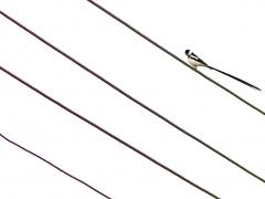 Dominikaneränka (Vidua macroura, Pin-tailed Whydah) lägger upp till 20 ägg i flera andra fåglars bo likt göken, oftast hos Helenaastrild.