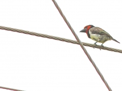 Svartkragad barbett (Lybius torquatus, Black-collared Barbet).