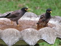 Brun majna (Acridotheres tristis, Common Myna) i hotellets fågelbad.