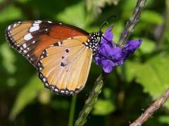 Afrikansk monark (Danaus chrysippus, African Monarch).