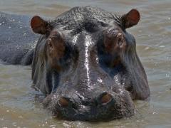 Flodhäst (Hippopotamus amphibius, Hippopotamus).