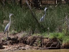 Svarthuvad häger, par (Ardea melanocephala, Blackheade Heron).