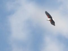 Afrikansk skrikhavsörn ( (Haliaeetus vocifer, African Fish-Eagle).