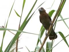 Tjocknäbbad vävare, hane (Amblyospiza, albifrons, Thick-billed Weaver).