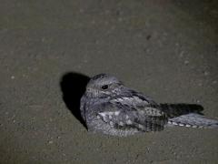 Bantunattskärra (Camprimulgus fossii, Square-tailed Nightjar.