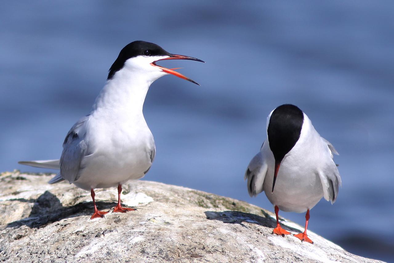 Fisktärna Sterna hirundo Common Tern