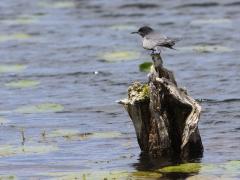 Svarttärna (Chlidonias niger, Black Tern) Hercullesdammarna, Åhus