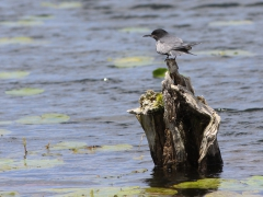 Svarttärna Chlidonias niger Black Tern