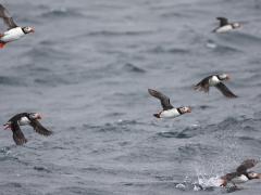 Lunnefågel (Fratercula arctica, Atlantic Puffin) Bleik, Norway.
