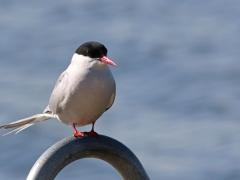 Silvertärna Sterna paradisaea Arctic Tern