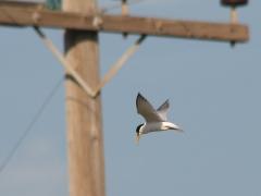 Småtärna (Sternula albifrons, Little Tern) Kalloni, Lesvos, Greece